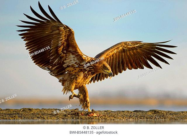 white-tailed sea eagle (Haliaeetus albicilla), young eagle landing at leftover of prey in the first light, side view, Hungary, Kiskunsag National Park