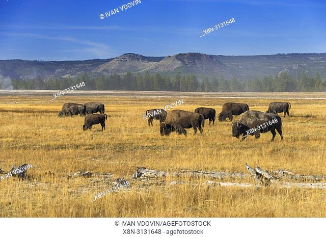American bison, Bison bison, Kidney Geyser, Yellowstone National Park, USA