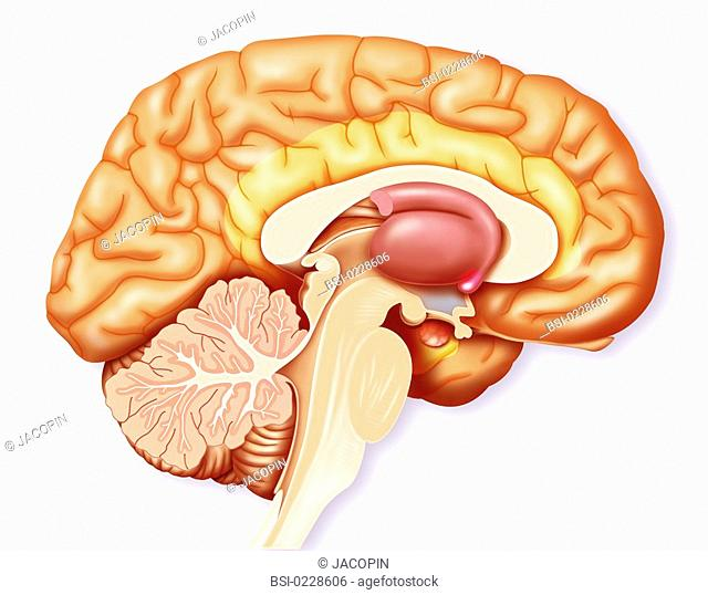 BRAIN, DRAWING<BR> <BR>The brain.  Representation of a mediane sagittal section of the brain and highlighting of certain structures