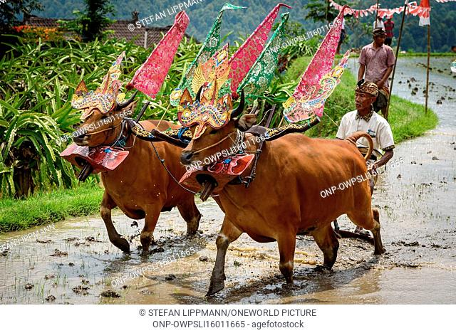 Indonesia, Bali, Kabul Buleleng, plowing with water buffaloes. Two experienced peasants enter the clock with magnificently decorated buffaloes