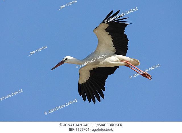 European Stork (Ciconia alba), Lake Ndutu, Serengeti, Tanzania, Africa