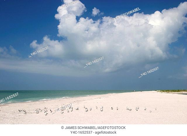 ROYAL TERNS STERNA MAXIMA ON THE BEACH IN CAYO COSTA STATE PARK ON THE GULF OF MEXICO IN SOUTHWEST FLORIDA