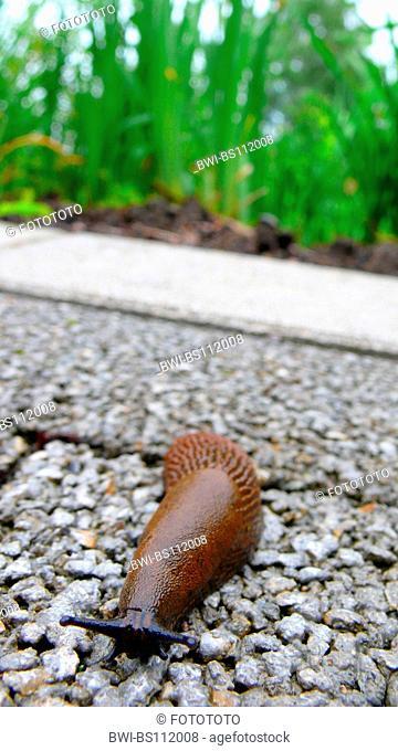 Spanish slug, Lusitanian slug (Arion lusitanicus, Arion vulgaris), creeping on wayside, Germany