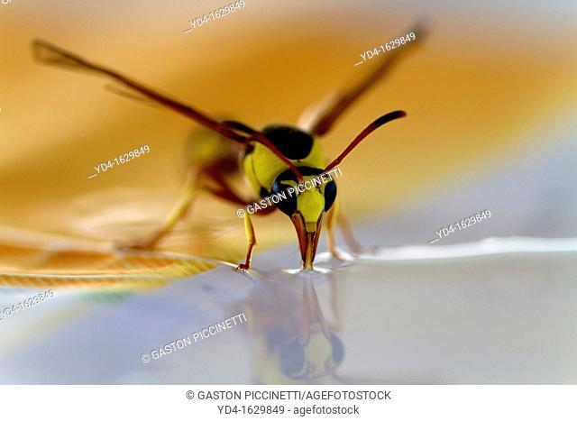 Social Wasps Family vespidae, drinking water, Mabuasehube, Kgalagadi Transfrontier Park, Kalahari desert, South Africa