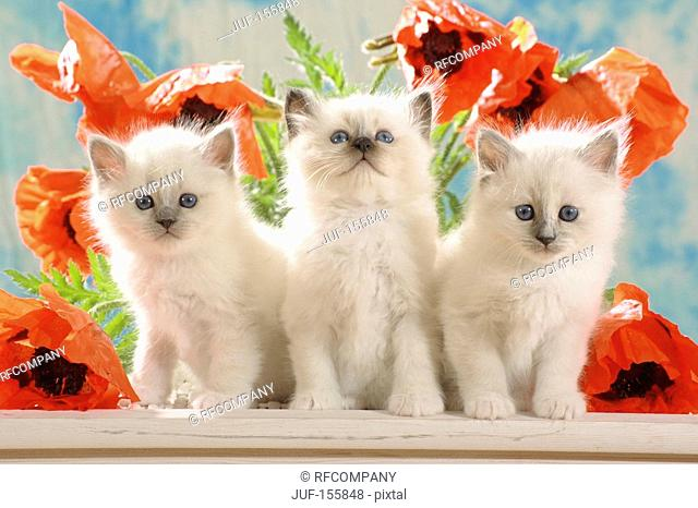 Sacred cat of Burma - three kittens