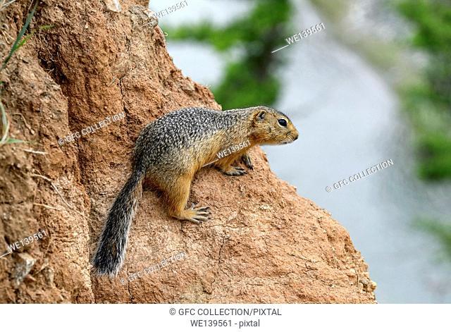 Daurian ground squirrel, (Spermophilus dauricus), Squirrel family (Sciuridae), Orkhon Valley, Khangai Nuruu National Park, Oevoerkhangai Aimag, Mongolia