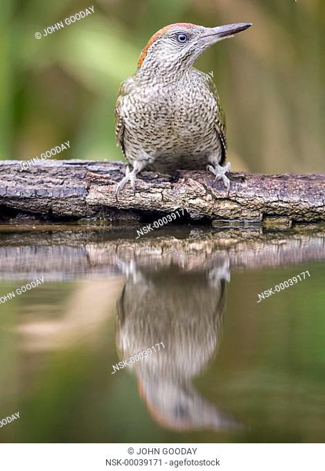 Juvenile European Green Woodpecker (Picus viridis) beside a pool, Hungary, Bekes, Koros-Maros National Park