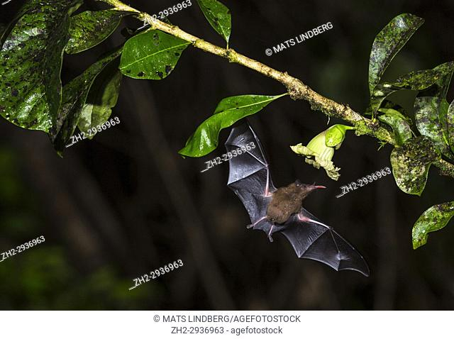 Geoffroy's tailless bat, Anoura geoffroyi, flying and sticking his tongue out to suck nektar from a flower in Costa Rica rainforest, Laguna del Lagarto