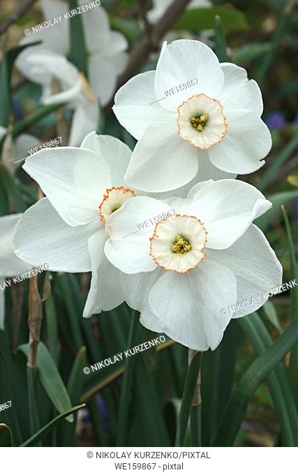 Small-cupped daffodil (Narcissus x Dreamlight)