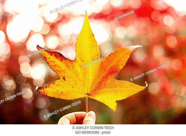 Woman holding yellow maple leaf, close-up