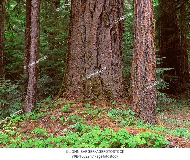 Large trunk of old growth Douglas fir and forest floor with vanilla leaf, Willamette National Forest, Oregon, USA