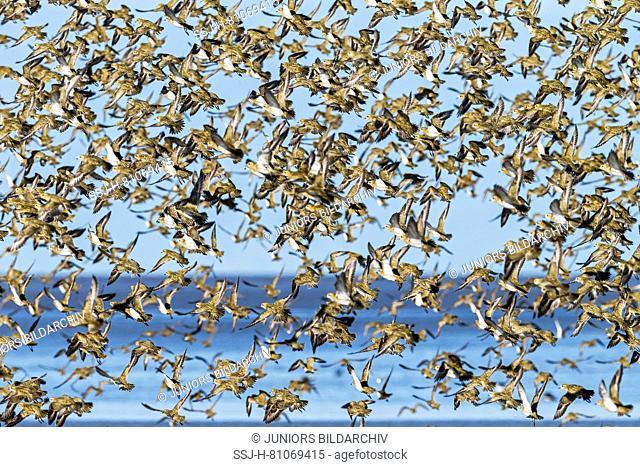 Golden Plover (Pluvialis apricaria). Flock in flight. Schleswig-Holstein Wadden Sea National Park. Germany