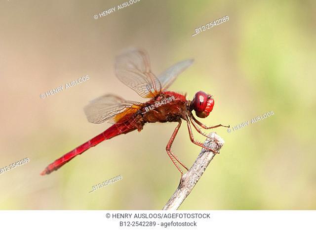 Scarlet Dragonfly - Broad Scarlet - Garrigue - Southern France Crocothemis erythraea