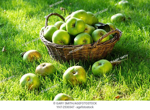 Windfall Bramley apples in basket on lawn