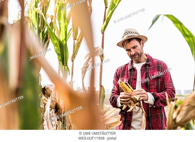 Farmer on field examining corn cob