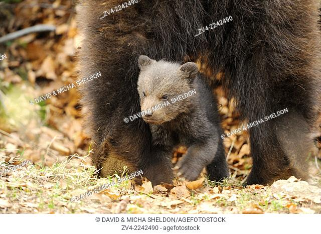 Close-up of a Eurasian brown bear (Ursus arctos arctos) cub mith her mother in a forest in spring