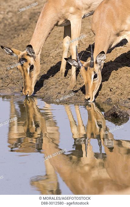 Africa, Southern Africa, South African Republic, Mala Mala game reserve, Impala (Aepyceros melampus), adult female drinking