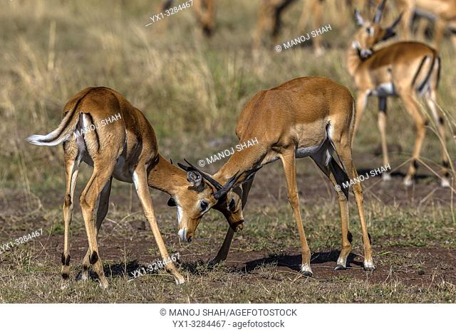 Male impalas play fighting in Masai Mara