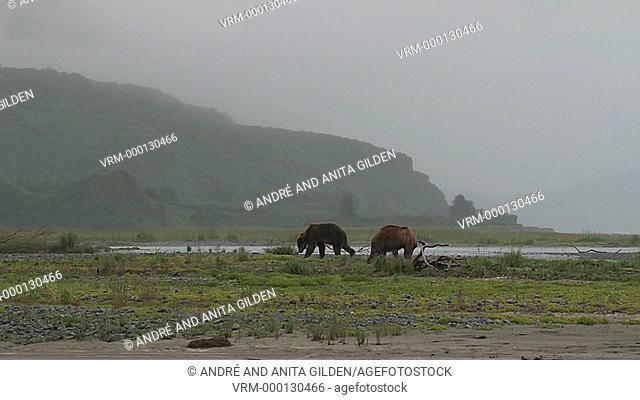 Grizzly Bear (Ursus arctos horribilis)males fighting at Katmai estuary