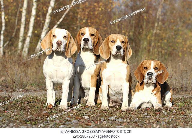 Four Beagle dogs in different positions