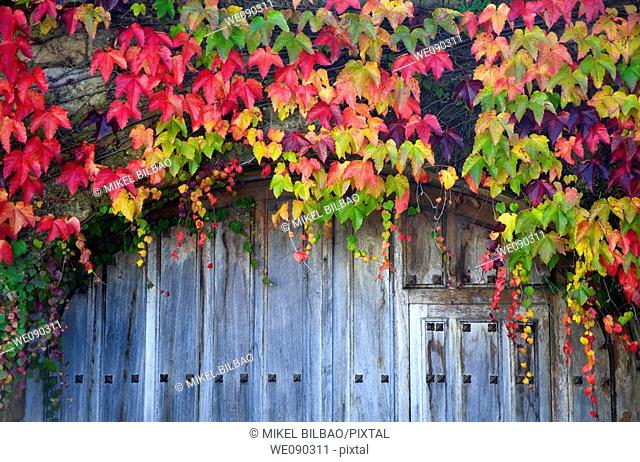 Common Ivy (Hedera helix). Leaves in autumn and old door