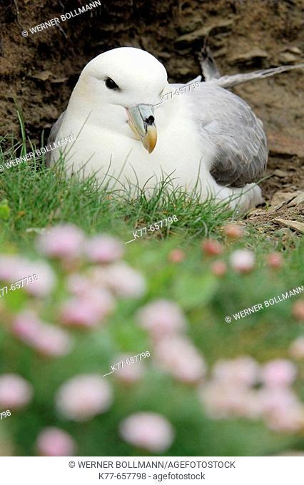 Fulmar (Fulmarus glacialis). Westray, Orkney Islands, Scotland