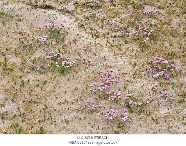 Ireland, Donegal, sea pink at the Gweedore Bay close Derrybeg