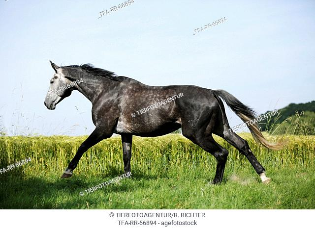 galloping German Sport Horse