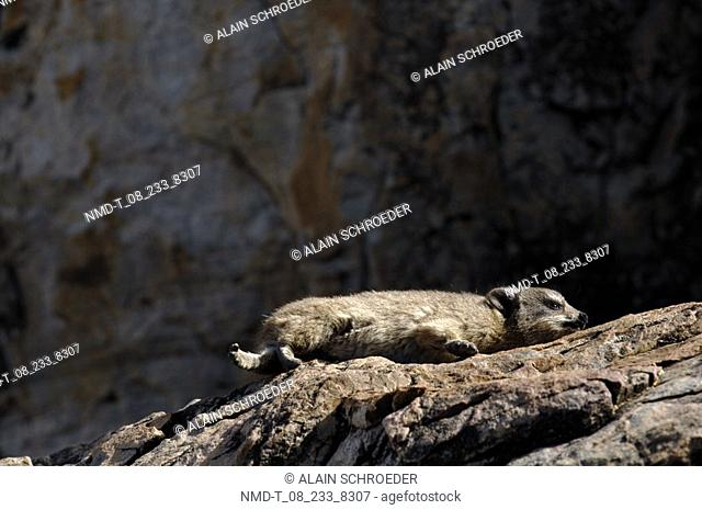 Rock Hyrax Procavia capensis resting on a rock, Hermanus, Western Cape Province, South Africa