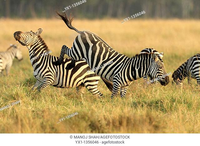 Zebra stallions usually fight for possession of females  Fighting starts with kicking with hind legs, biting of mane, neck and legs and rearing up and plunging...