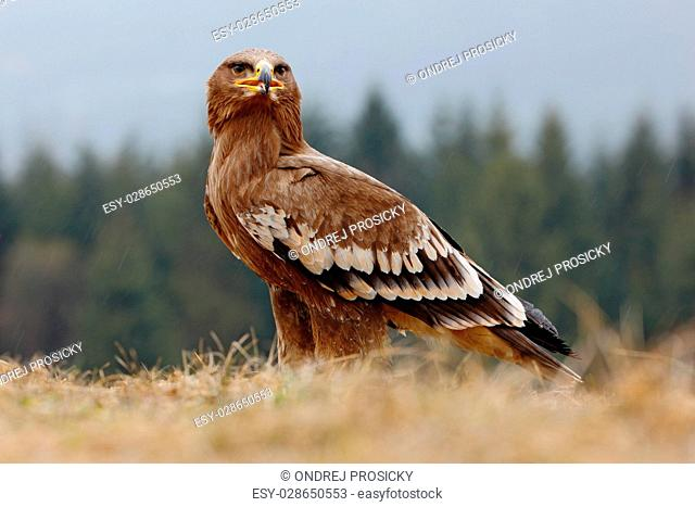 Steppe Eagle, Aquila nipalensis, sitting in the grass on meadow