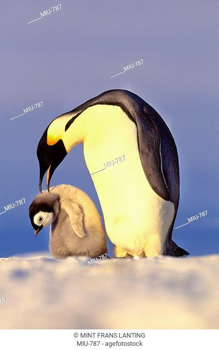 Emperor penguin attacking chick, Aptenodytes forsteri, Weddell Sea, Antarctica