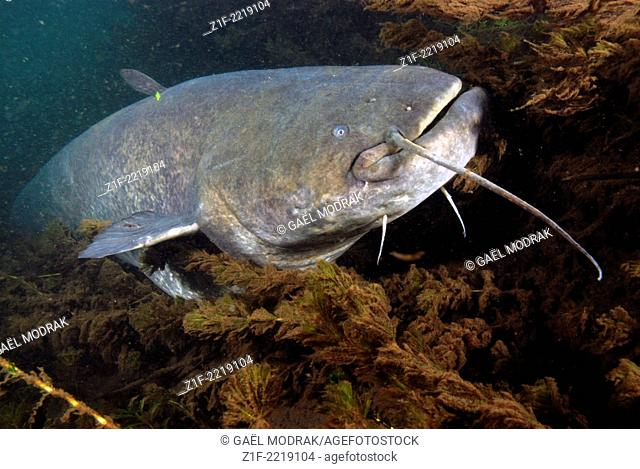 Close-up on the head of a big wels catfish in the Rhône river in France. Silurus glanis