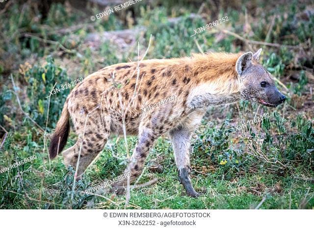 A spotted hyena (Crocuta crocuta), aka laughing hyena,Nakuru National Park, Kenya