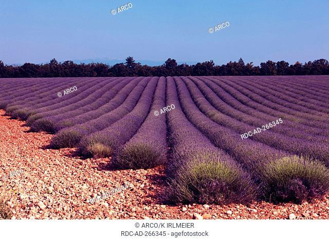 Lavender field, Puimichel, Provence, France / Lavandula angustifolia