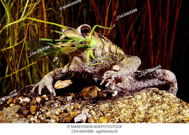 Freshwater Rivers. Common Toad (Bufo bufo) devouring grasshopper. Rio Oitaven. Galicia. Spain. Europe