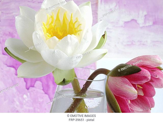 Water lilies in a glass vase