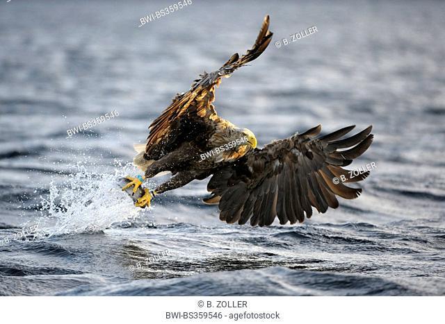 white-tailed sea eagle (Haliaeetus albicilla), hunting grasping the prey, Norway