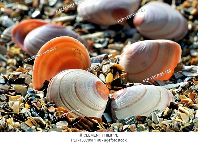 Baltic macoma / Baltic clam / Baltic tellin (Macoma balthica) shells washed on beach