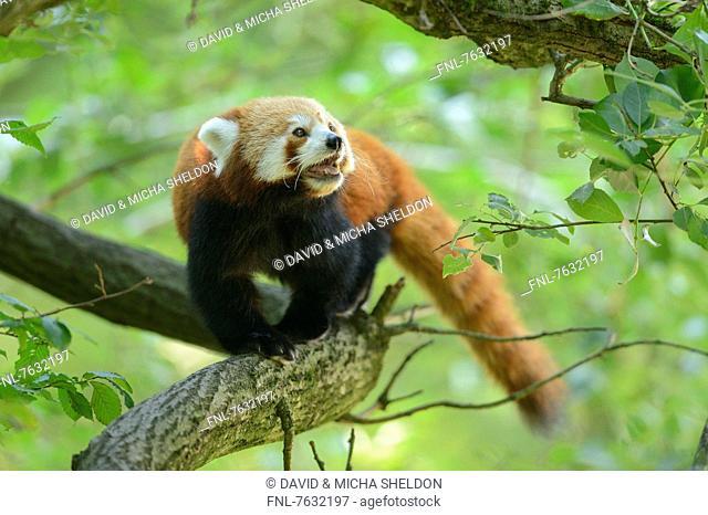 Red panda (Ailurus fulgens) on a branch