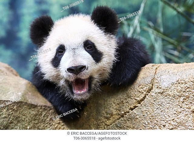 Giant panda cub (Ailuropoda melanoleuca) yawning. Yuan Meng, first giant panda ever born in France, is now 10 months old, Zooparc de Beauval