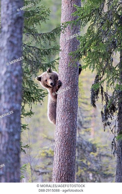 Europe, Finland, Brown bear (Ursus arctos horribilis), young climbing a tree
