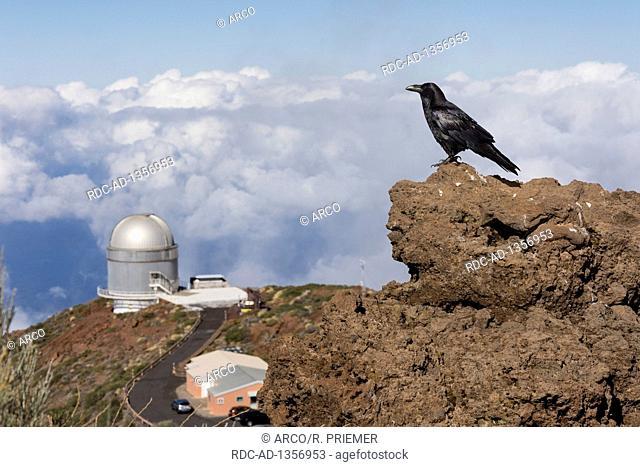Common raven, northern raven, Nordic optical telescope, NOT, Roque de los Muchachos, Tijarafe, La Palma, Spain, Corvus corax