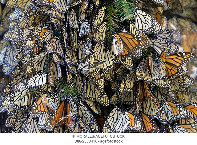 Mexico, State of Michoacan, Angangueo, Reserve of the Biosfera Monarca El Rosario, monarch butterfly (Danaus plexippus), In wintering from November to March in...