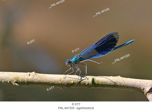 Close-up of Banded Demoiselle Calopteryx splendens on branch