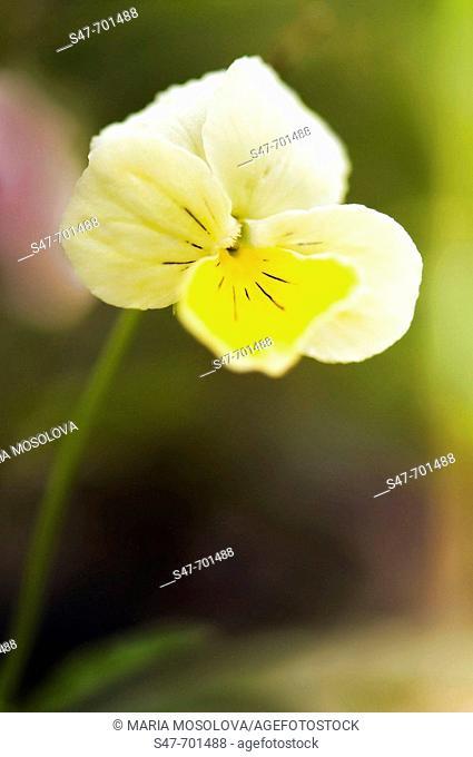 Yellow Pansy Flower. Viola x wittrockiana. June 2006, Maryland, USA