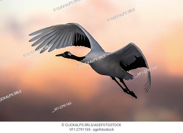 A Japanese red crested cranes flying above Akan crane center at sunset