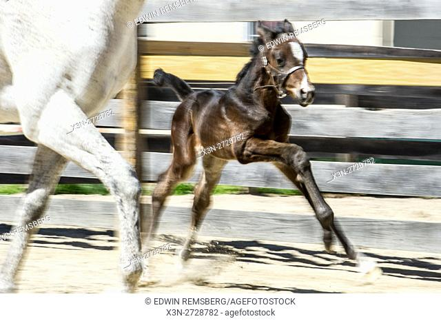 Newborn foal running next to its mother on a farm