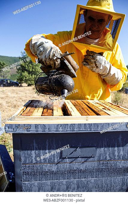 Beekeeper in protective suit using smoker on beehive