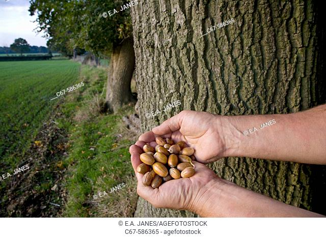 Oak Quercus robur Forester with Acorns. Ashridge Estate Hertfordshire Formally Owned by the Duke of Bridgewater Founder of the British Canal System